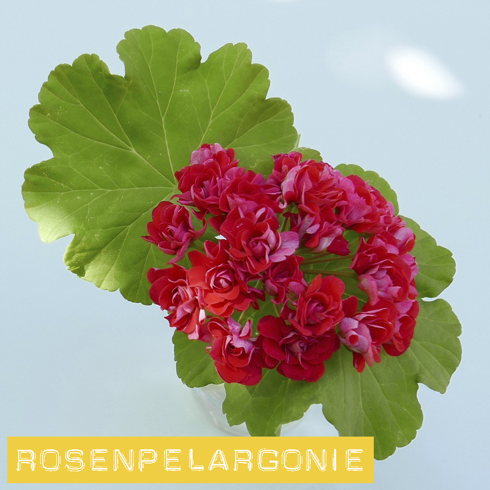 PELARGONIE MIX